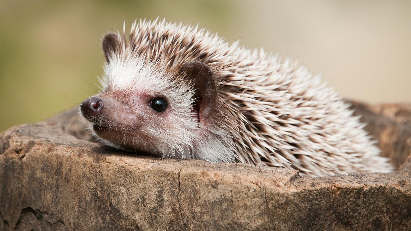 hedgehog-closeup[1].jpg