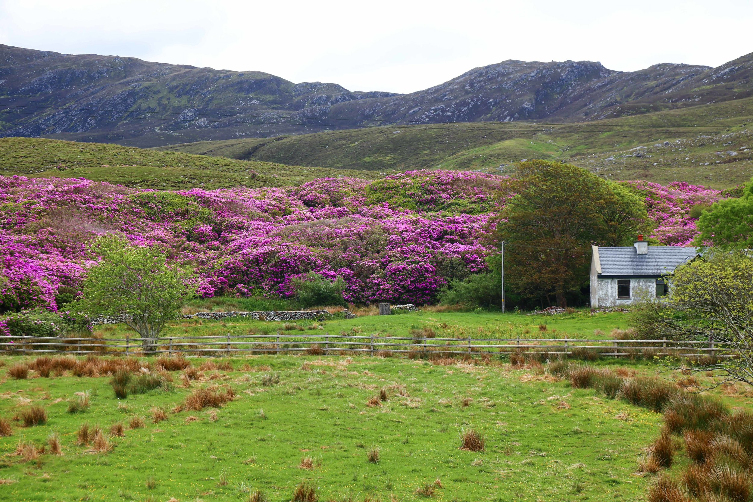 The waxy evergreen plant with its pink bloom roams freely in Ireland's upland bogs, wild hillsides, native woodland and sensitive river valleys