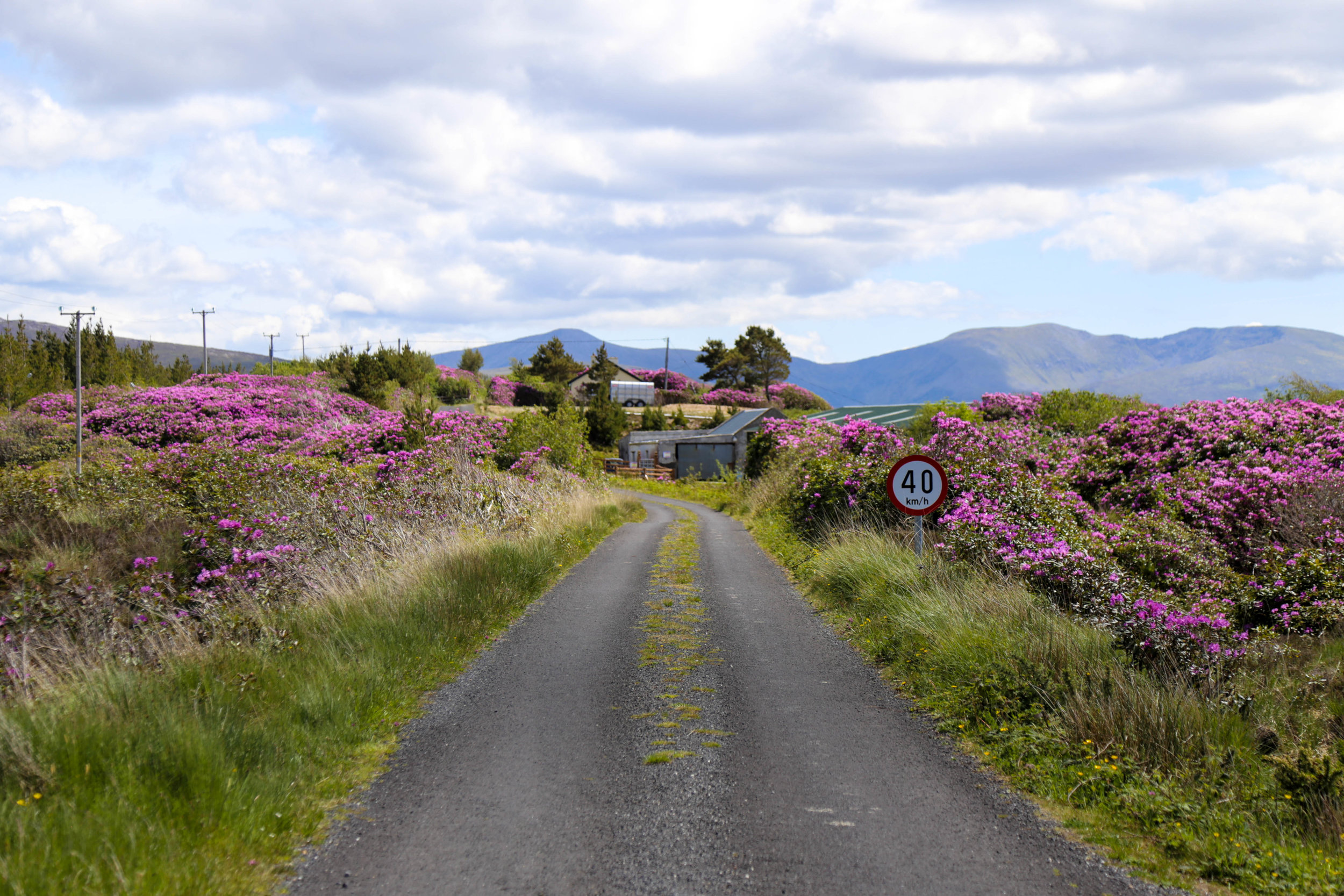 Most worryingly, Rhododendron now covers great swathes of our National Parks, lands which were granted special protections because of their ecological importance. Here Rhododendron can be seen both sides of the driveway to Wildlife Rangers head office in National Park at Ballycroy in North Mayo.