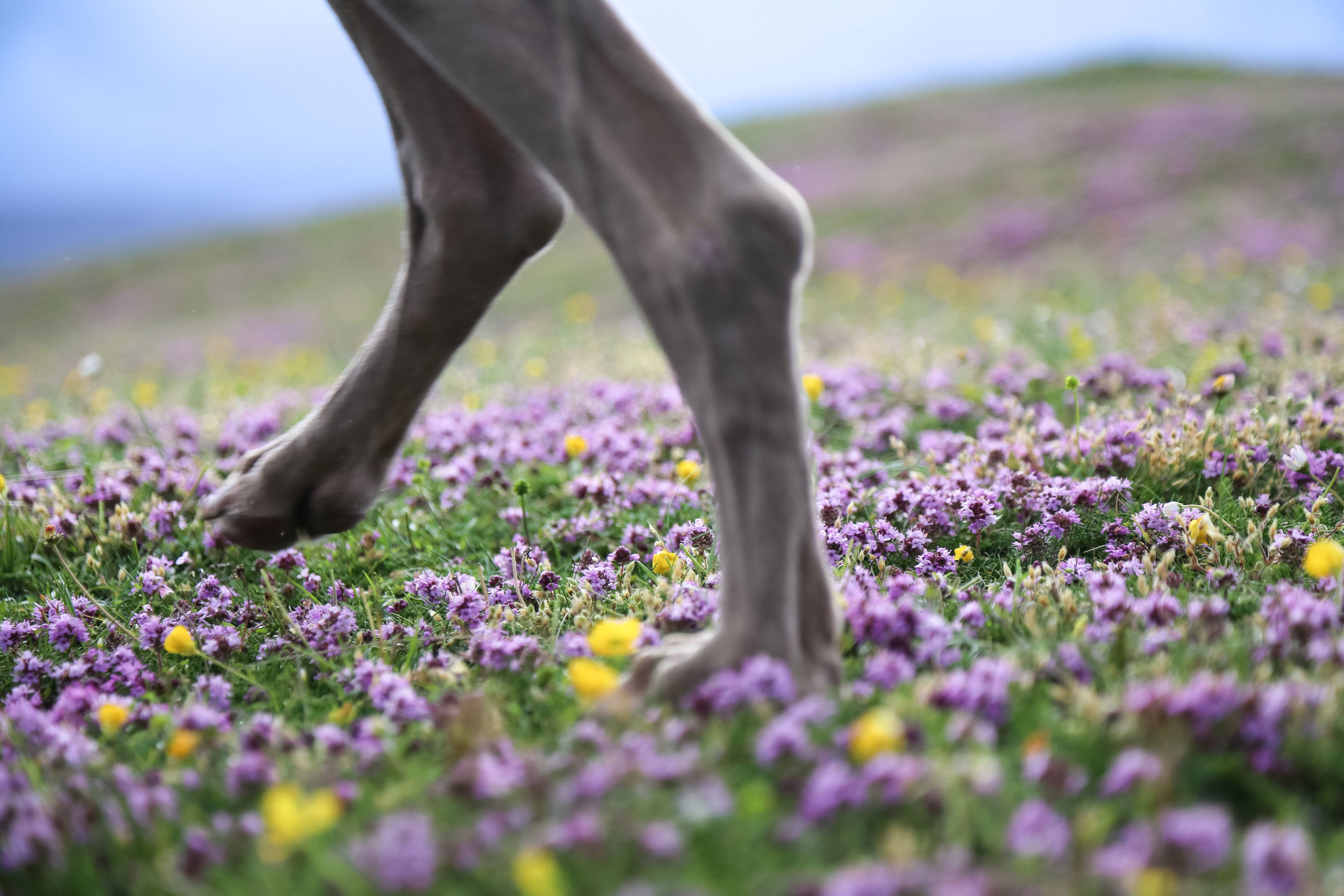 Our dog Woody runs into the camera's frame on the machair grasslands close to Mulranny, Co Mayo.