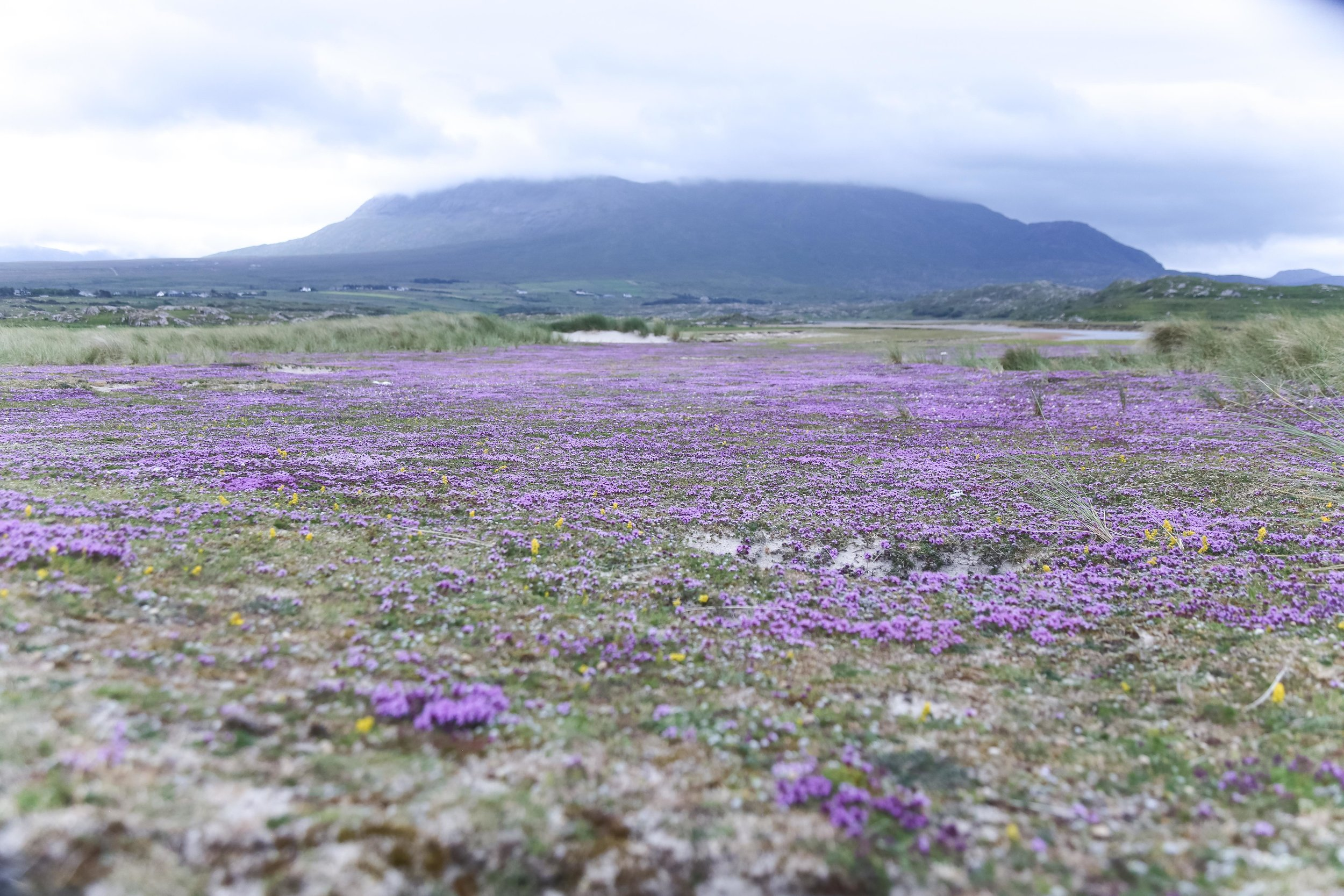 Machair grasslands are flat sandy plains that form between sand dunes and (often) an inland lake or rivers. From mid-June the machair close to Silver Strand at Thallabawn, Mayo is glowing with wild thyme flowers.