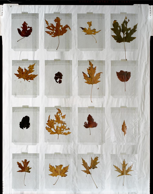 Grid of Leaves (2013)