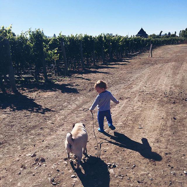 Pug walking! @thelonious_pug #pierrebear #lifeinavineyard