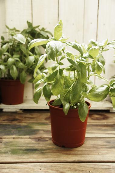 1. 羅勒(Basil)  有著鮮綠色的光滑大葉,會開出白色的小花。輕輕觸摸羅勒的葉子會有一股屬於溫暖陽光般的香氣,那是在每個地中海城鎮空氣瀰漫的味道。  羅勒是西方料理使用次數相當高的香草,本身風味融合一些丁香和大茴香的香氣,口感溫暖帶有一些胡椒的辛辣味。羅勒特別適合做成青醬或是與蕃茄、大蒜搭配在一起。蕃茄可以說是羅勒的好夥伴,不管是作成沙拉、醬汁或是湯類都非常合適。羅勒也很適合當作填充餡料的調味品,像是配上小牛肉或小羊肉,而海鮮的部分尤其是龍蝦與扇貝。  大家常常把羅勒和九層塔放在一起討論,其實他們是香氣非常接近的香草,但使用方法有點不太一樣。九層塔味道比較重一點,而且葉子的纖維很粗,不太適合直接下口。甜羅勒的話纖維相對比較細緻,即使切碎或整片吃都會很順口。  羅勒建議選在日照充足但有遮蔽物的地方,需要肥沃和排水良好的土壤,炎熱的夏天,葉子容易垂垂的要記得多澆水。如果種於室內窗臺邊可以將幼芽摘掉,延遲開花的時間讓羅勒長得更茂盛。
