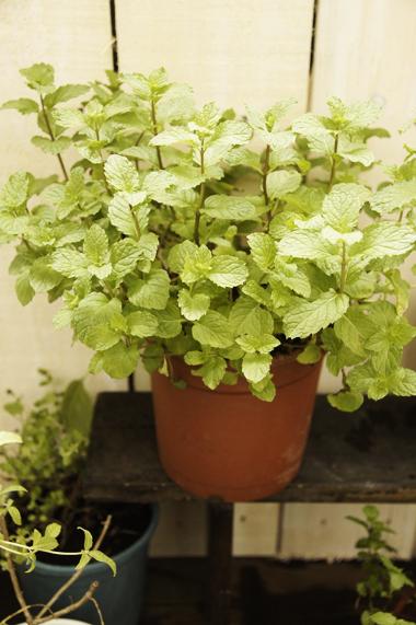 2.薄荷(Mint)  薄荷的原產地在歐洲與地中海地區,四處可見種滿的薄荷。尖尖的葉片在夏末會開出淡紫色的花朵。生長過程中隨時都可以採取,不過最佳的時機要在開花前,因為那是香精油含量最多的時候。  新鮮薄荷在入口的瞬間,甜美的香氣會帶來一股清涼、微微麻麻的感覺,不僅如此,薄荷還有溫暖身心的效果。淡淡的檸檬香襯托出一種強烈的甘甜嗆辣味。西方料理常拿薄荷來與胡蘿蔔、茄子、馬鈴薯作調味。各個地區會因為風俗習慣而有不同的使用方式,像是印度人會借重薄荷清新的口感調配酸甜醬和優格沙拉。泰國菜中也常利用薄荷,提出酸辣多層次的口感。墨西哥人則會在肉丸和雞肉裡加一些薄荷調味,或是配上萊姆的酸香作成雞尾酒。  薄荷是容易栽種的植物,喜歡溫和的氣候,需要大量的水分。薄荷屬於蔓生性植物,所以要有足夠的空間讓它生長喔(像是比較大型的花盆或是可愛的桶子中)!