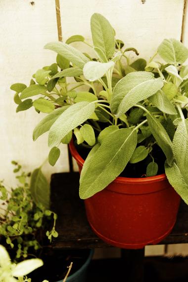 3. 鼠尾草(Sage)  鼠尾草是非常受歡迎的園藝植物,大家喜歡它不同顏色的葉片和花朵,所以人工培育了許多的品種。鼠尾草的味道有溫和樹脂香或稍微濃烈的樟腦味,帶有淡淡的澀味,越是色彩斑斕的品種,味道就越淡。  鼠尾草因為可以幫助消化,所以經常會被用於肉類料理。例如加上洋蔥作成肉類的填充餡料;德國料理會和香腸一起搭配;英國則會配上豬肉、鵝肉和鴨肉。對了,義大利料理也常使用到鼠尾草,像Pepe用培根捲起的鮮魚捲搭配鼠尾草真是超級好吃!  鼠尾草的最佳生長環境是溫暖乾燥的土壤,要避免直接雨淋,還要有適當的陽光。鼠尾草比較不耐濕,現在夏天要減少澆水和施肥喔。