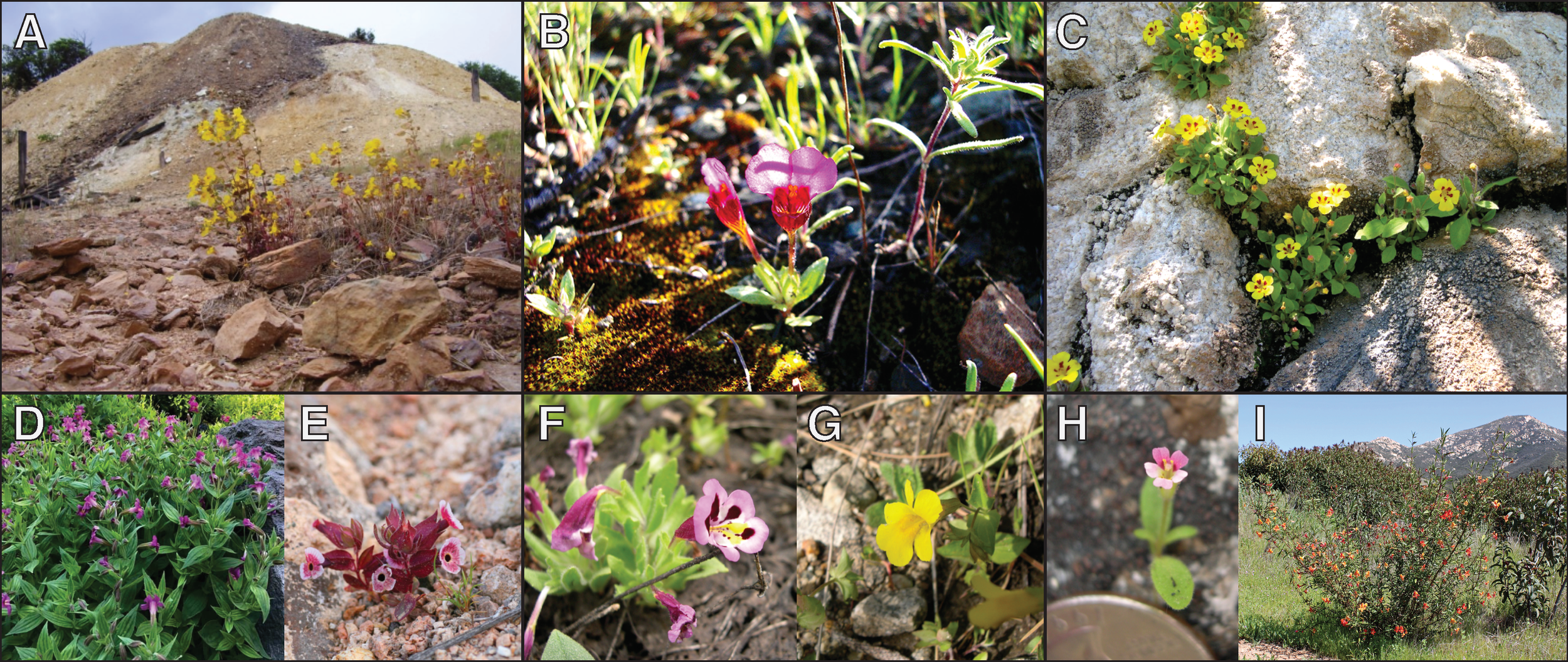 A sampling of the tremendous diversity found in the genus  Mimulus . Top row are edaphic specialists; e.g. A)  M. guttatus  on copper mine tailings, B)  M. douglasii  on serpentine, C)  M. norrisii  on limestone.  Mimulus  can also be found across an astounding range of hydrological settings, spanning wetlands to deserts, e.g. D)  M. lewisii  along a creek in the Cascades, E)  M. mohavensis  outside of Barstow, CA in the Mojave Desert. Species can withstand vastly different temperature regimes, e.g. F)  M. tricolor  growing near sea level in a remnant vernal pool of the central valley, G)  M. tilingii  growing in the subalpine zone of the Sierra Nevada at over 3,000 meters elevation.  Mimulus  also exhibits an impressive assortment of growth forms, from tiny herbaceous annuals to large woody perennial shrubs, e.g. H)  M. breweri , a diminutive self-fertilizing annual (quarter for scale), I)  M. aurantiacus , a large woody shrub that is a dominant member of many chaparral communities. Photo in panel A by K. Wright (from Presgraves 2013), all other photos by J. Sobel.
