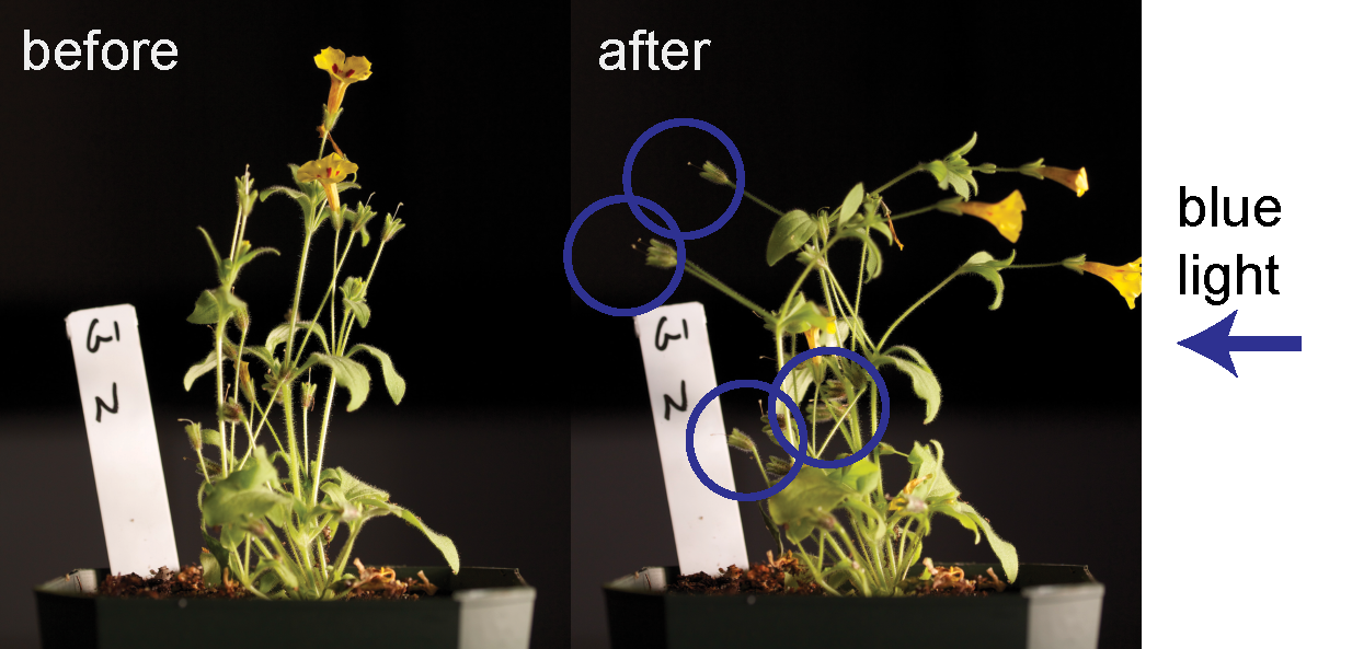 Illustration of the developmental shift in phototropism that results in hyper-reduced seed dispersal in  M. norrisii . The 'before' image precedes application of unidirectional blue-enriched light. In the 'after' image, flowers orient positively toward the light, while fruits (circled) actively move away from it.