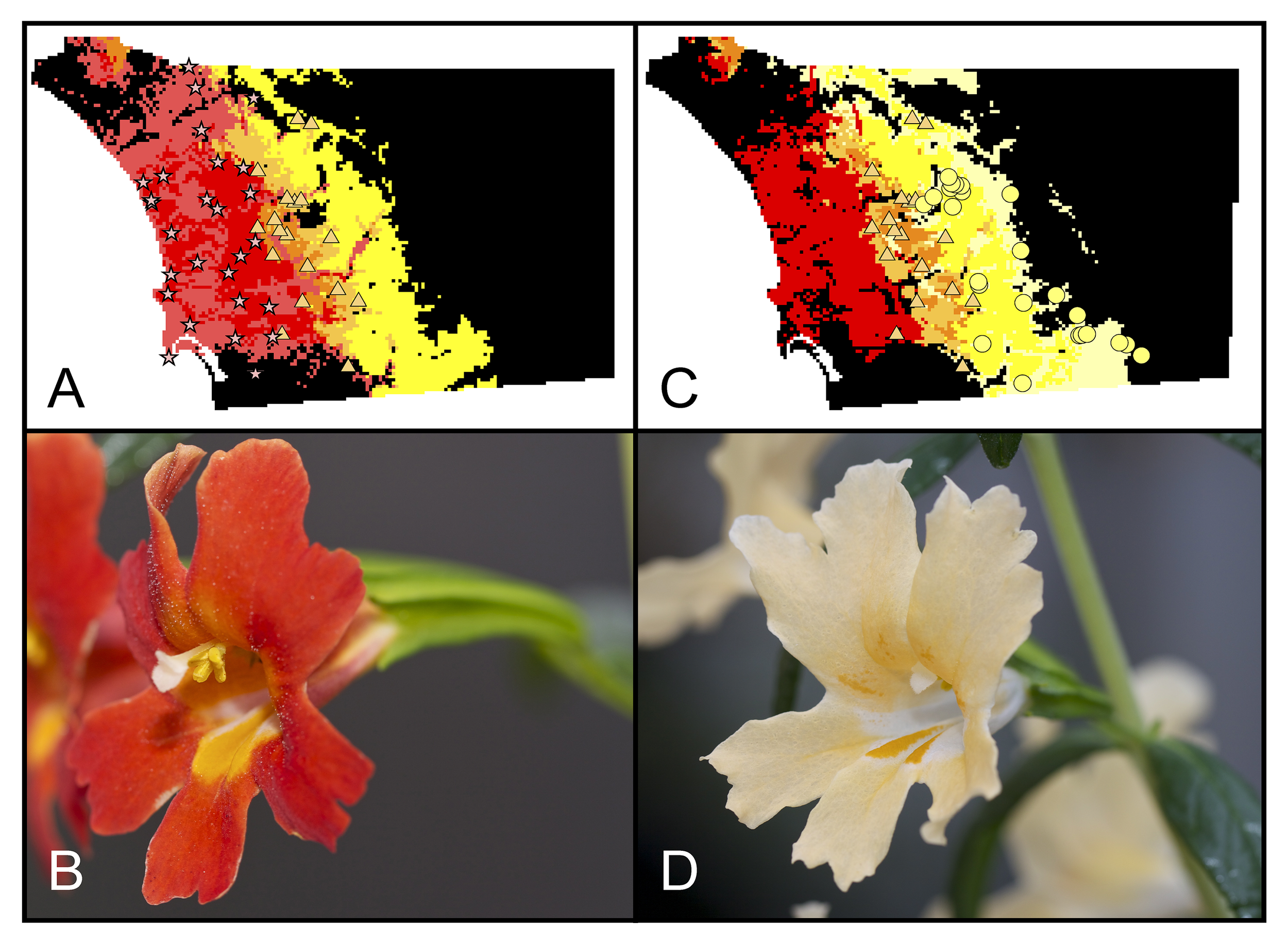 M. aurantiacus  is reproductively isolated by both habitat and pollinators. The red-flowered ecotype (panel B) is pollinated primarily by hummingbirds, while the yellow ecotype is pollinated by hawkmoths (D). These two taxa are non-randomly distributed across geographic space, with the red ecotype found in coastal regions of southern California (A), while the yellow-flowered ecotype is found further inland (C).
