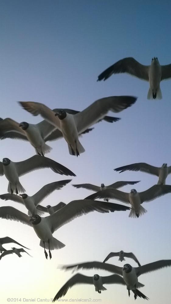Flock of seagulls, Port Aransas, TX, 2014