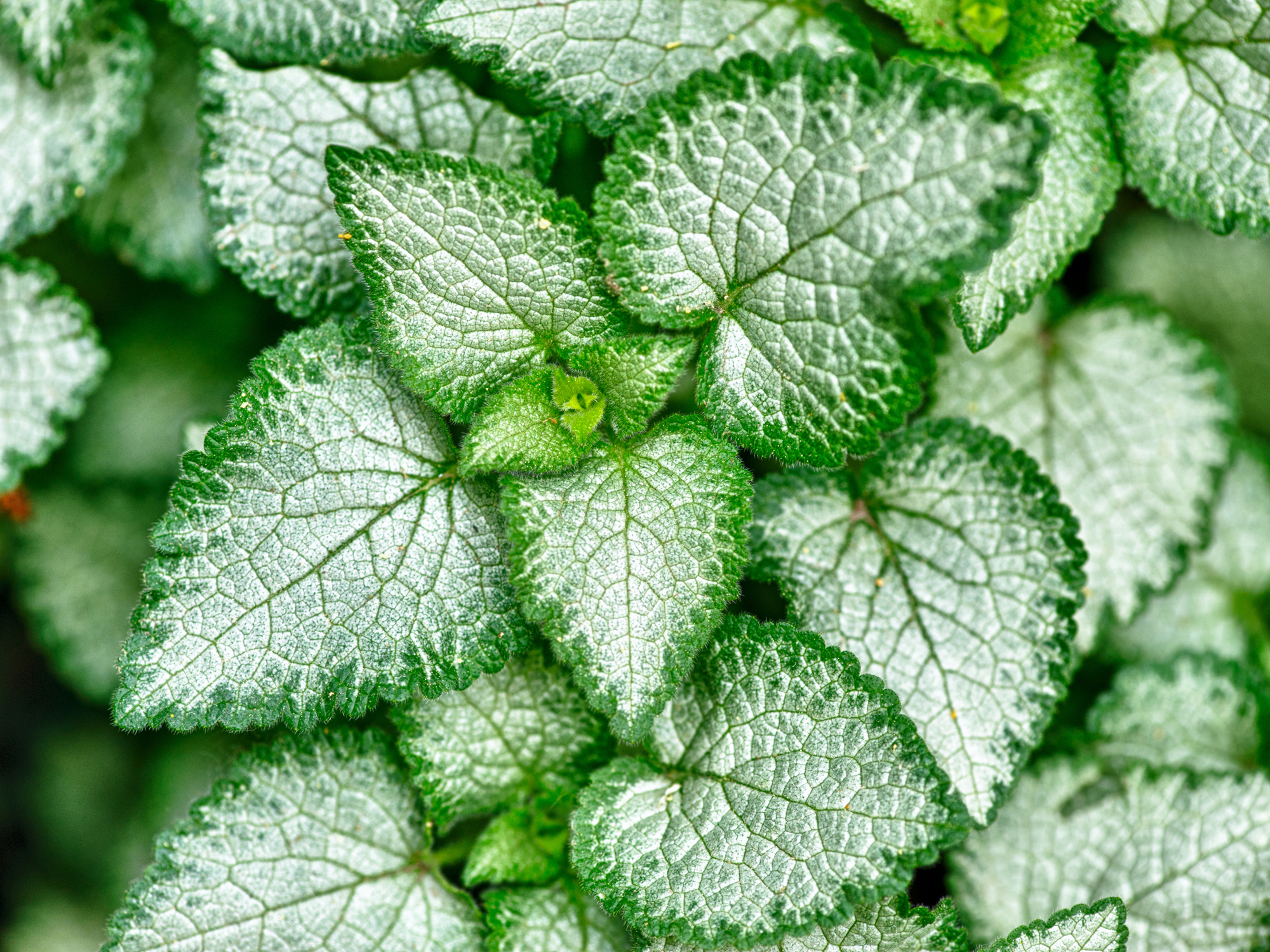 Forskolin, probably the most important natural lipolytic active known today