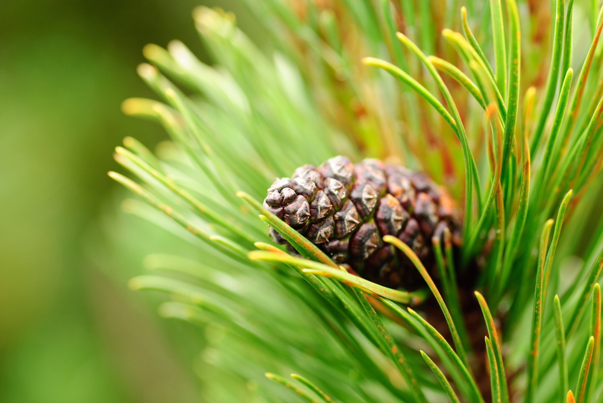 Red pine bark extract is extremely well researched for it's circulation, antioxidant and collagen protecting properties