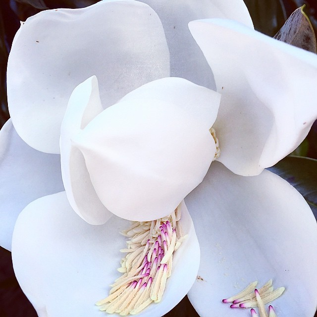 Sweet Magnolias are in bloom! #seed #magnolia #bloom #magnoliatree #photography #mrsdovebelly #travel #south