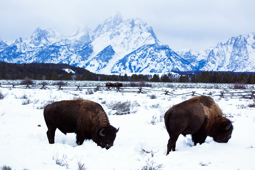 Wild bison in Jackson Hole Valley