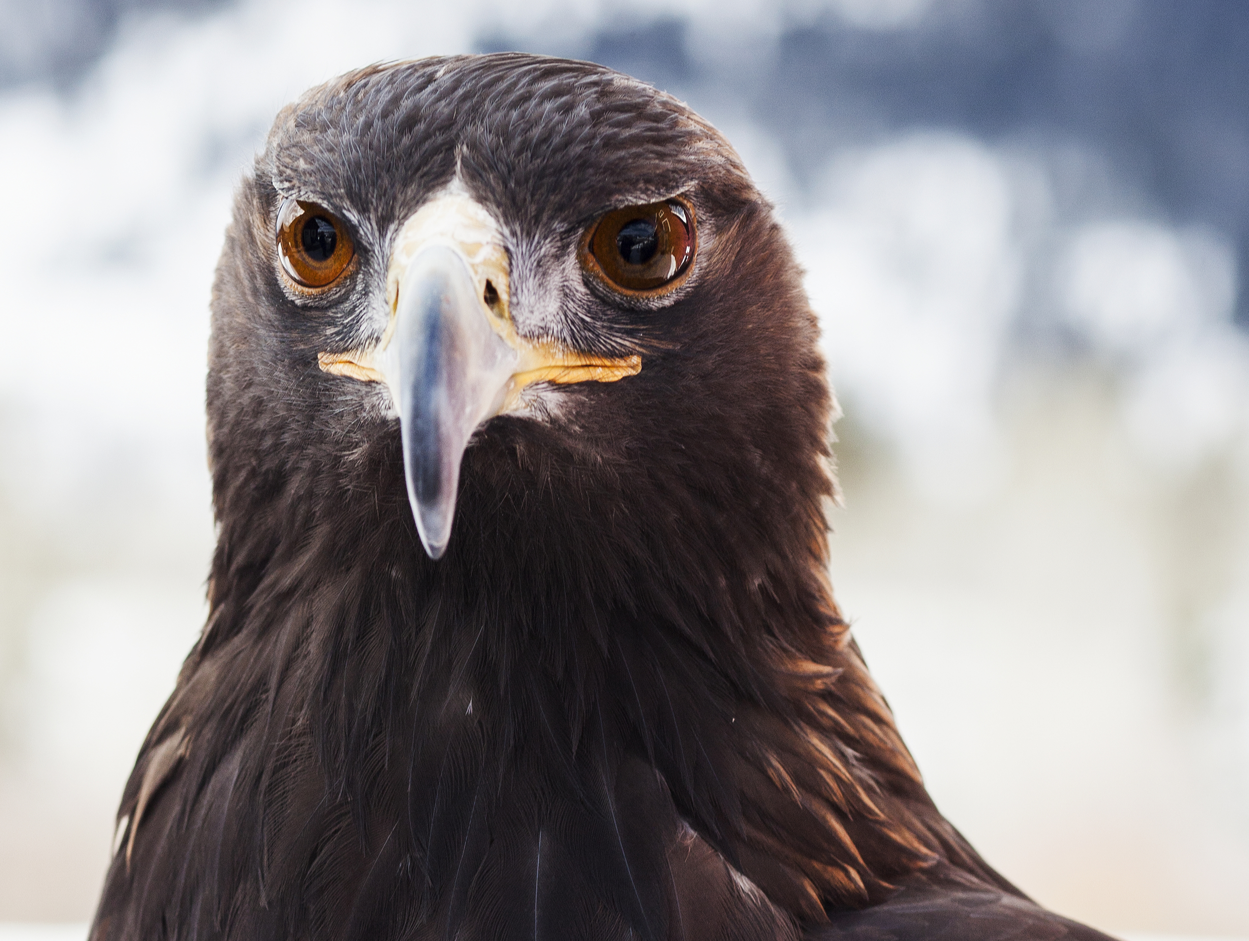 Gus theGolden Eagle, ambassador for his species at the Teton Raptor Center in Wilson, Wyoming.