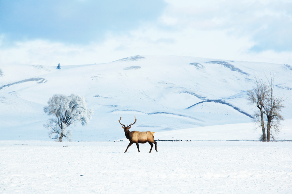Elk on the National Refuge, Jackson Hole.