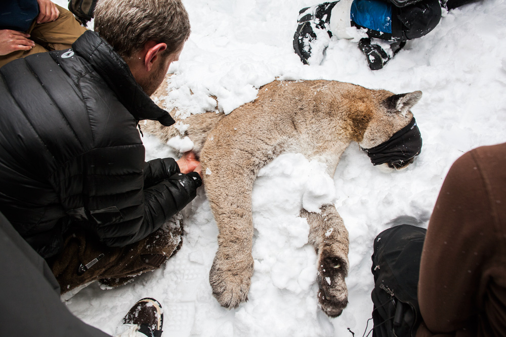 A team ofbiologistsand naturalists from the Teton Cougar Project examiningaadult male in the Gros Ventre mountains of Wyoming
