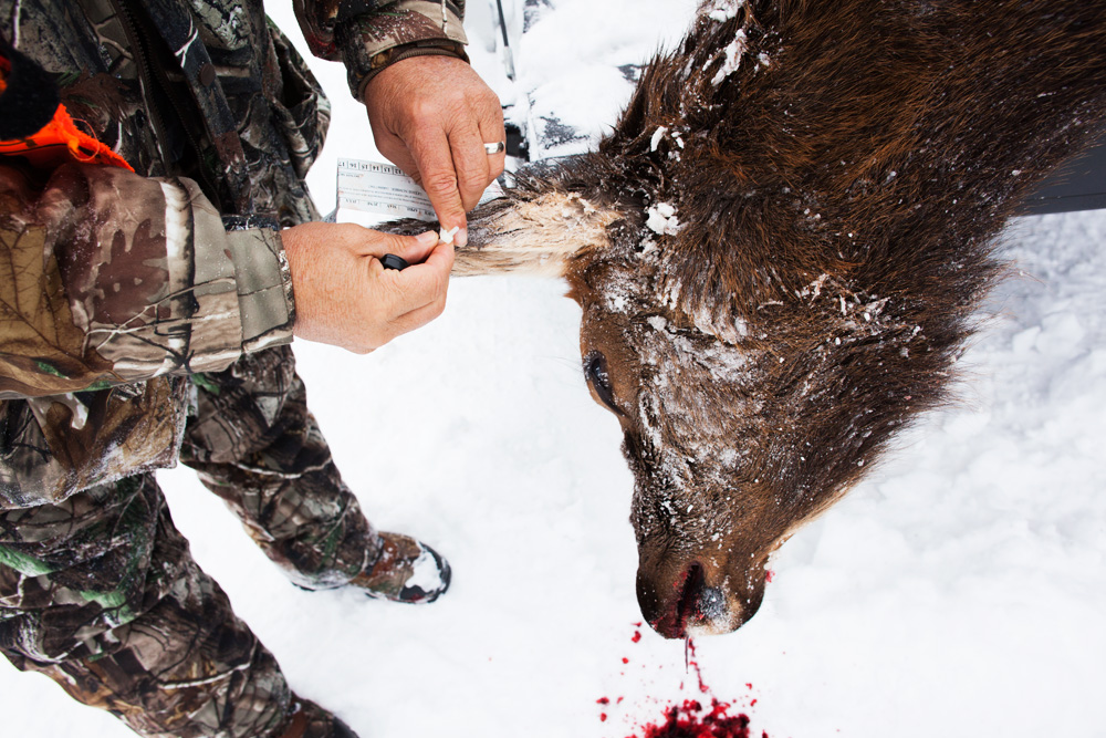 A hunter who had come from California tags his cow elk kill in Grand Teton National Park.