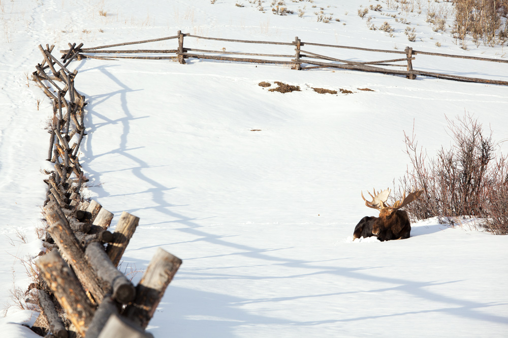 Moose taking an afternoon rest near Kelly, Wyoming.