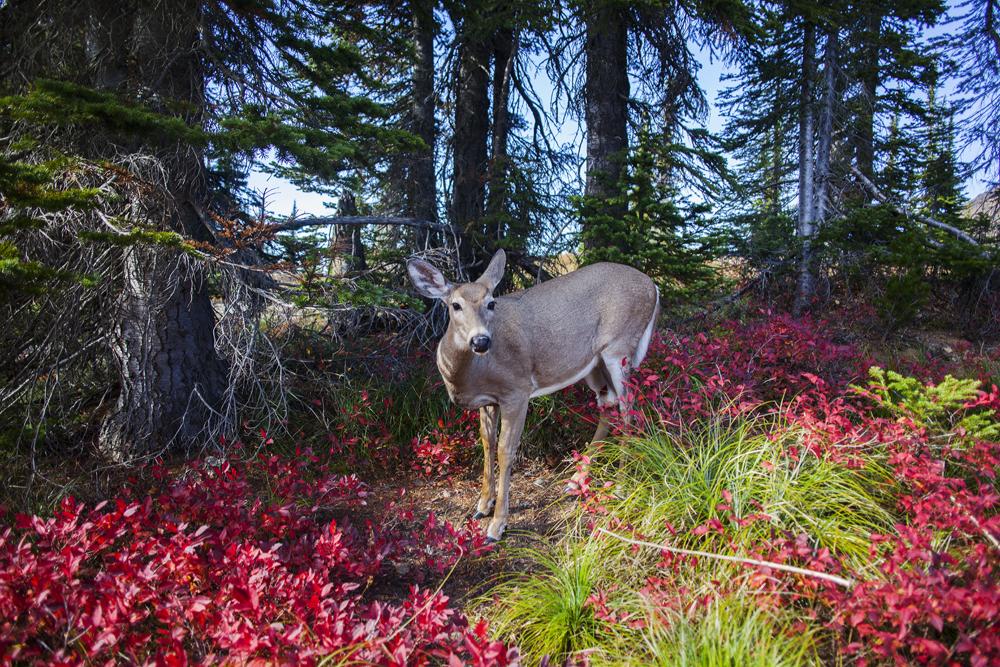 Mule Deer  (Odocoileus Hemoinus)