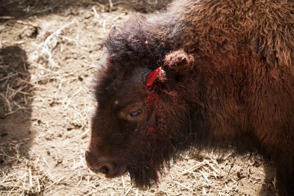 An injured buffalo after being released from the squeeze chute in Stephens Creek, Yellowstone.