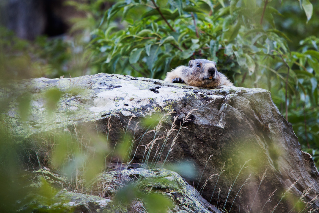 Marmots are some of the more common mammals to be found in the Vanoise.