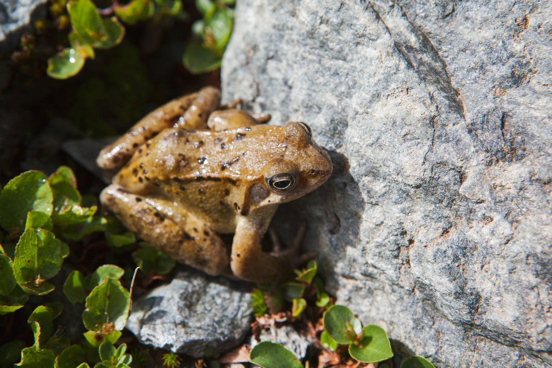 Common frog. There are approximately 200 vertebrae species in the Vanoise park.