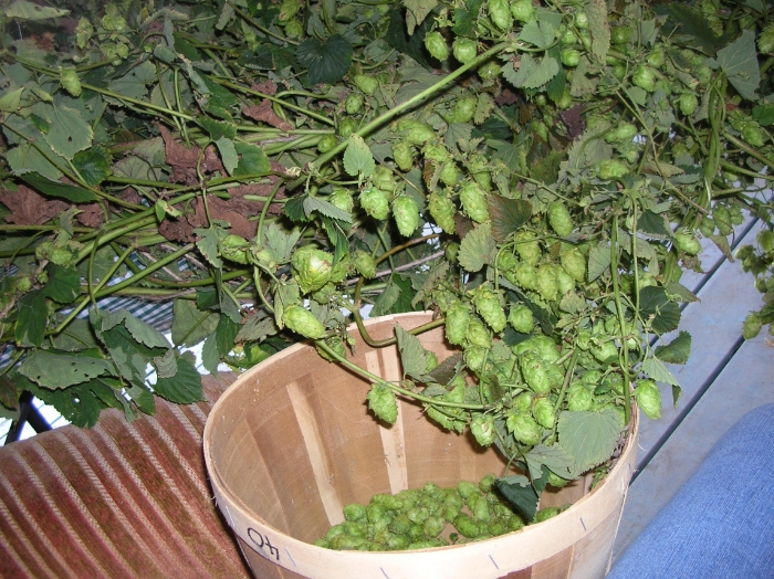 """Picking hops from the vine with a technique we call """"armchair harvesting"""" on our front deck..."""
