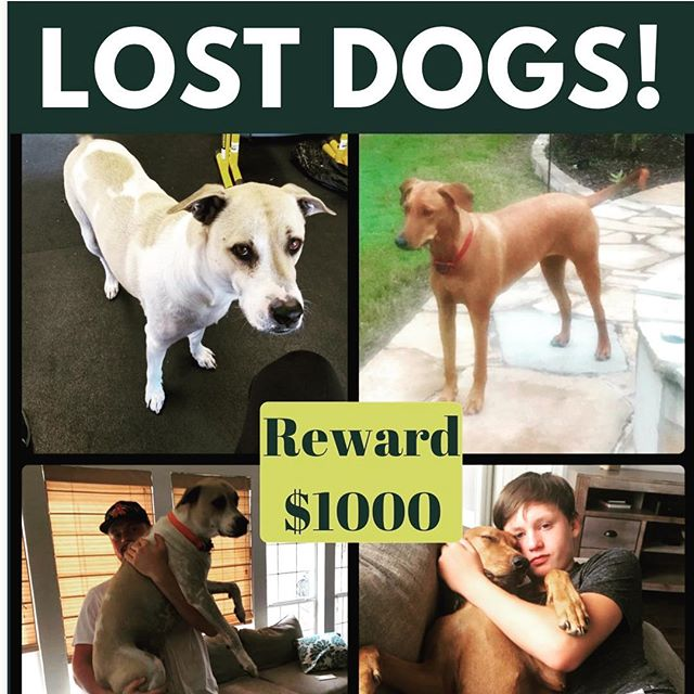 We are all VERY sad 😢 and just keep praying someone will find them. $1000 REWARD!! 940-435-5510 call if you find them.  Lost in Saint Jo Texas.  Saturday Oct 26th our dogs went missing. 😢😢 All 3 followed me a little ways down the gravel driveway (it's a mile long) when I went into Saint Jo. But they stopped so I kept going.  But I guess they kept following. When I drove back to the ranch after a couple hours I found the schnauzer (Candy) about 2 miles from the house but the other two (Bode and Maggie) were not around.  We have talked to neighbors, put up signs and called the local sheriff office. Called the shelters all around. Now we need your help friends. Please tag friends that live in Saint Jo, Forestburg, Bowie, Nocona, Muenster Texas.  They have never run off at the ranch before.  I pray they come back. We are a sad bunch at the Hudgens's house. 😢😢🙏🏼🙏🏼 #lostdog #lostdogs #saintjo @bohosaintjo @noconabrewery #nocona #forestburg #muenster @muenster_isd #vizsla #labmix #losthelpfind