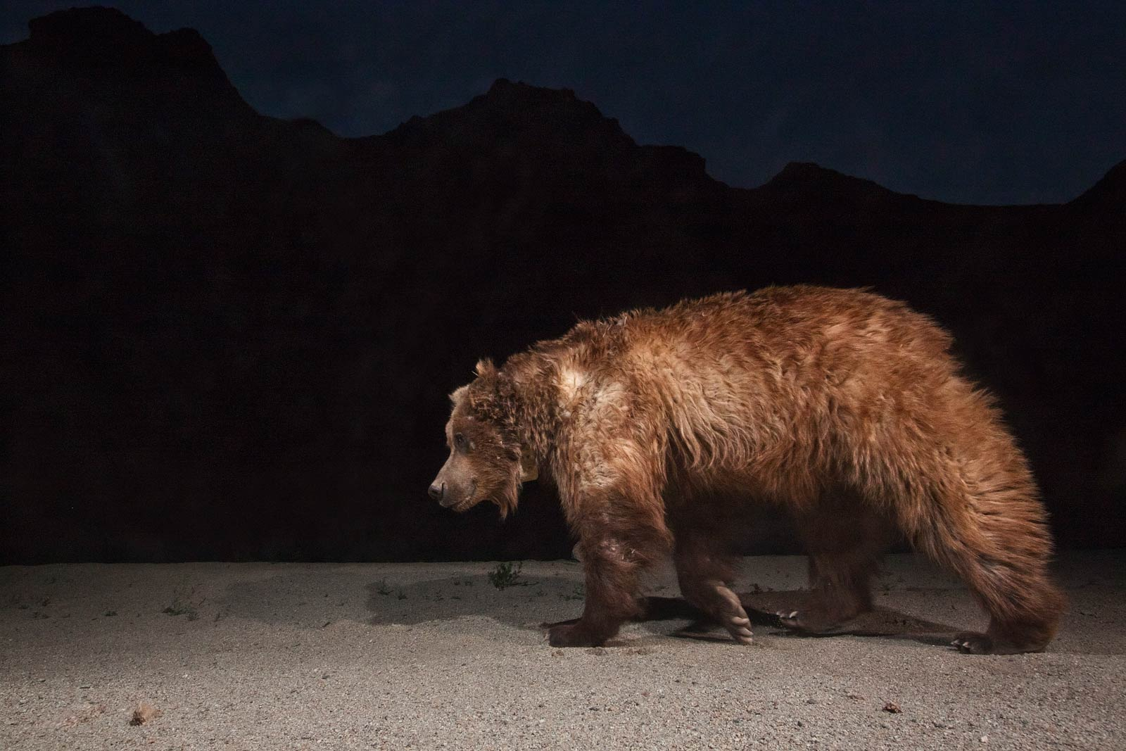 This large male was documented visiting all three oases in the Gobi A preserve, evidence that the bears are still breeding across their range.   Douglas Chadwick   has traveled to some of the world's most remote corners to report stories for  National Geographic.  Both he and photographer   Joe Riis   are trained wildlife biologists.