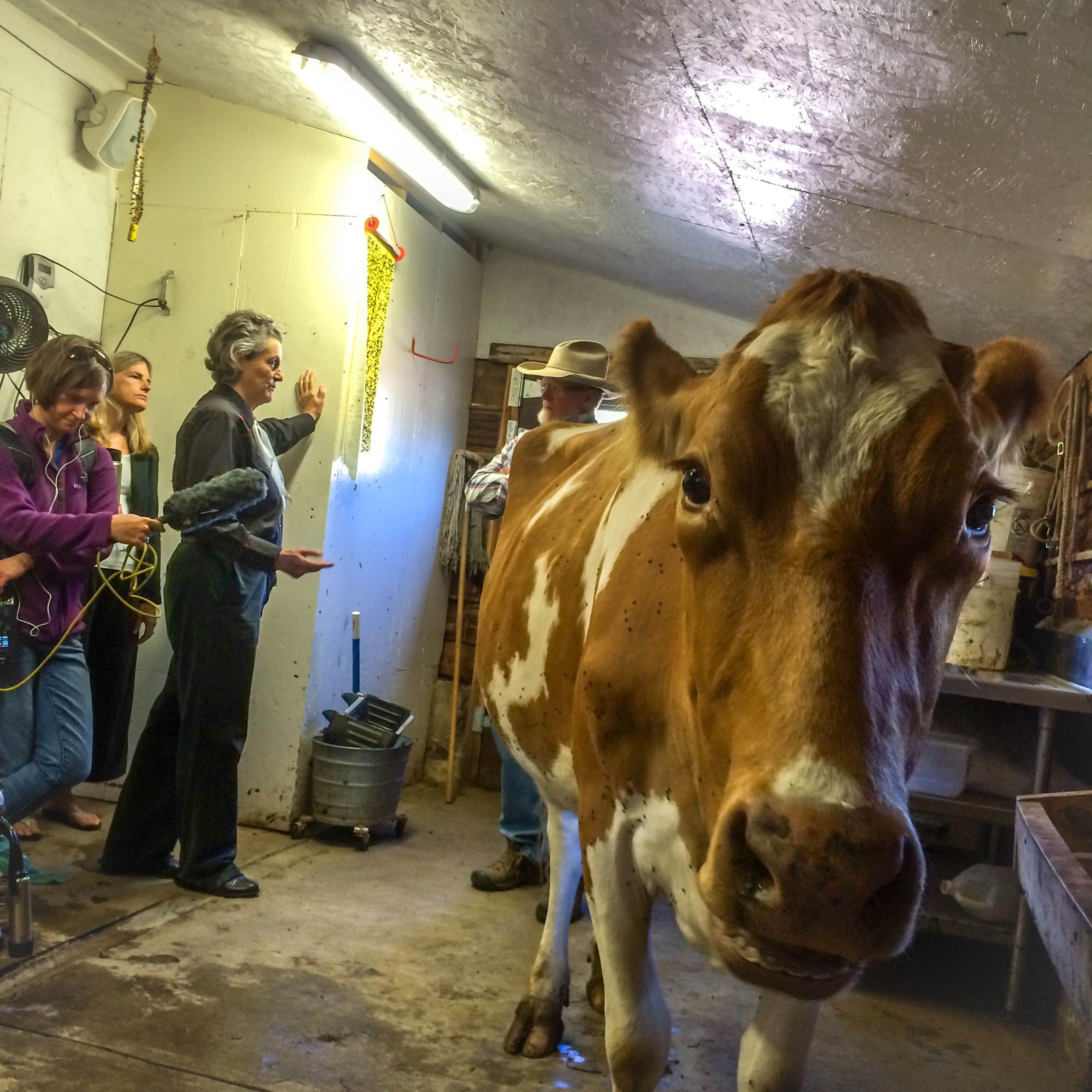 """Photo of """"Ruby"""" the dairy cow and from left to right; Marci Krivonen from Aspen Public Radio, Sally Bernard from Ascendigo, Dr. Temple Grandin from Colorado State University and Brook LeVan from Sustainable Settings. Photo by Rob Hollis from Green Line Architects."""