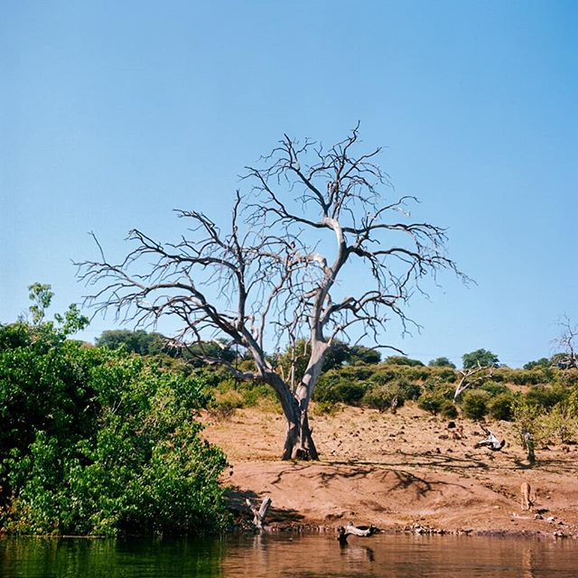 An antelope by a tree by the Chobe River - Botswana. See it? . . . #chobenationalpark #botswanasafari #safari #yashicamatem #mediumformat #kodakportra #120film #tlr #squareformat #portra160 #kodak