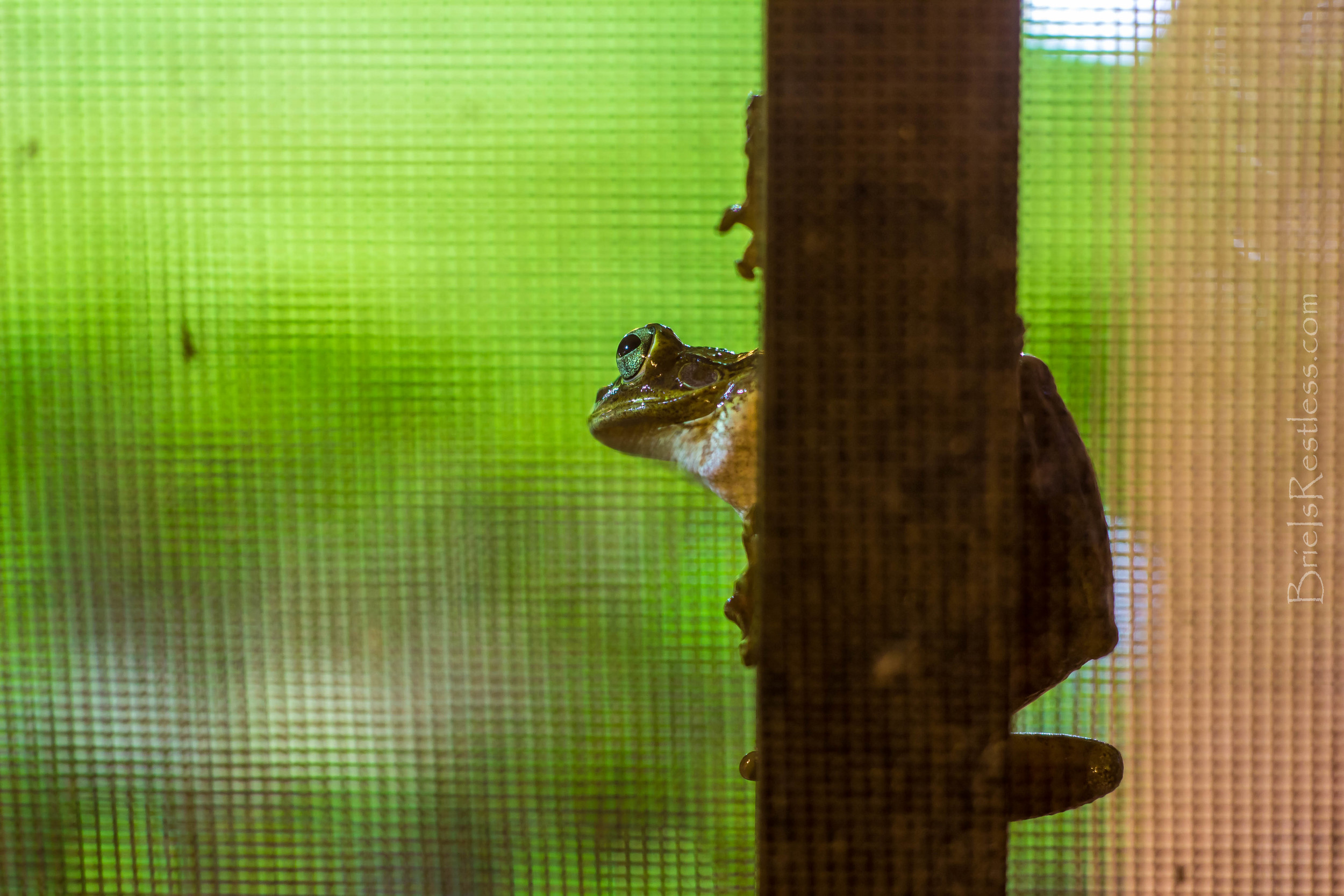 Pete the Guard Frog - Orlando Florida - June 2015 (1 of 1)-3.jpg