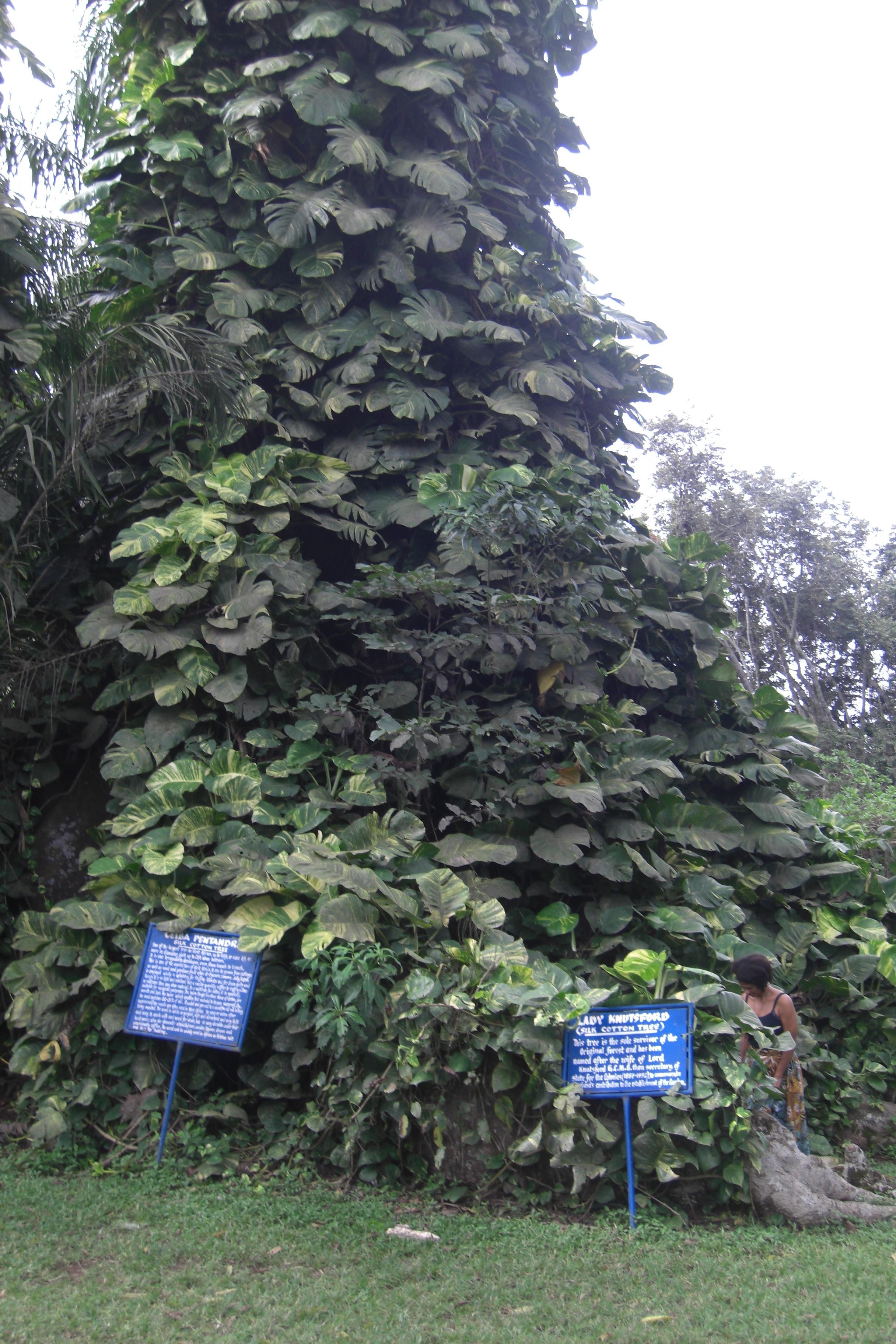 cotton tree large.jpg