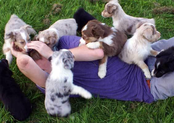 A swarm of Mini Aussies mauling a human.