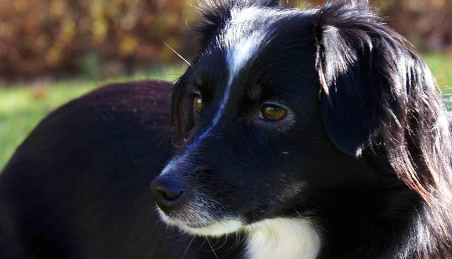Maggie is a Black Tri Mini Aussie at Breezemore.