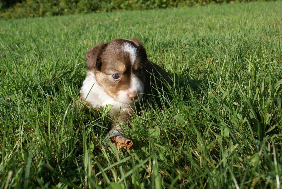 Mini Aussie Puppy Male