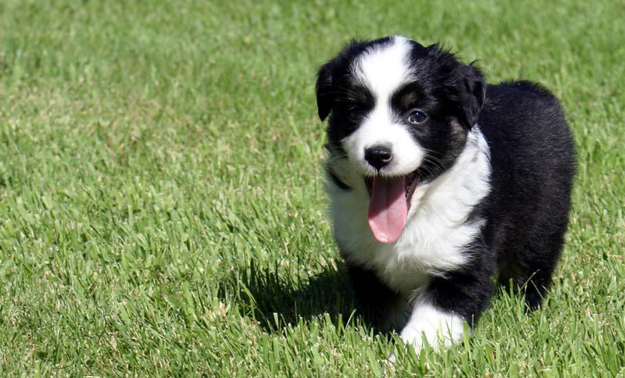 Mini Aussie Puppy Black Bi Female