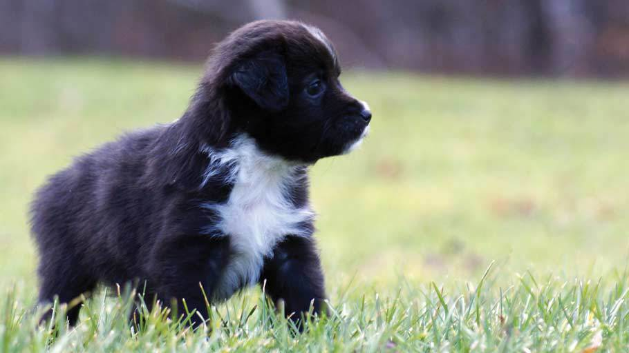Miniature Australian Shepherd Puppy Black Bi Male