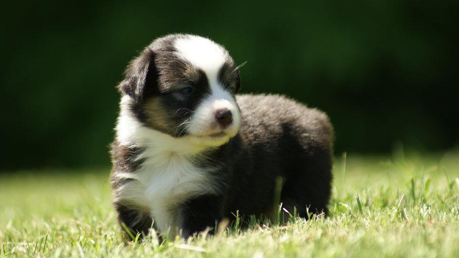 Miniature Australian Shepherd Puppy (Mini Aussie)