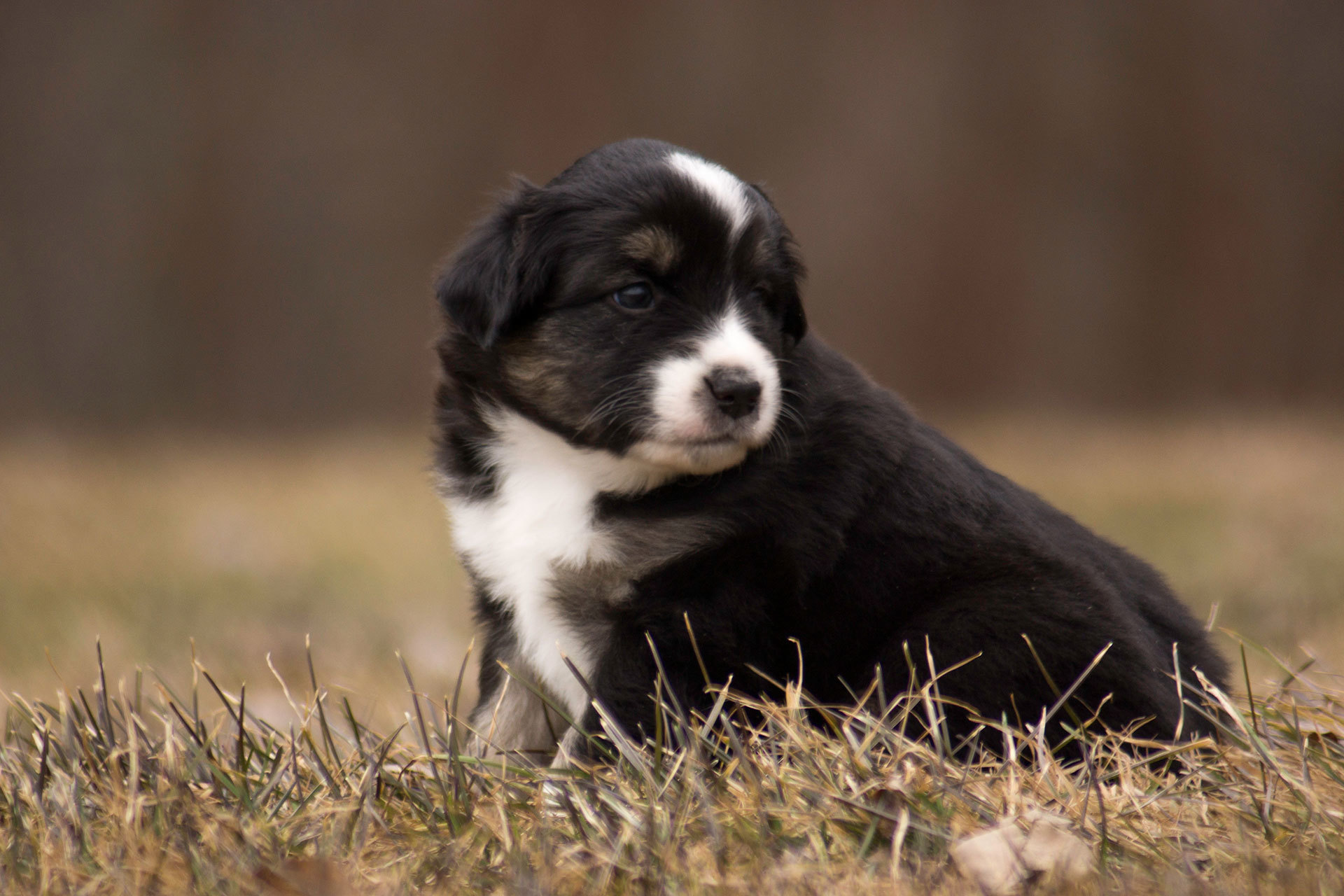 Miniature Australian Shepherd Puppy Male