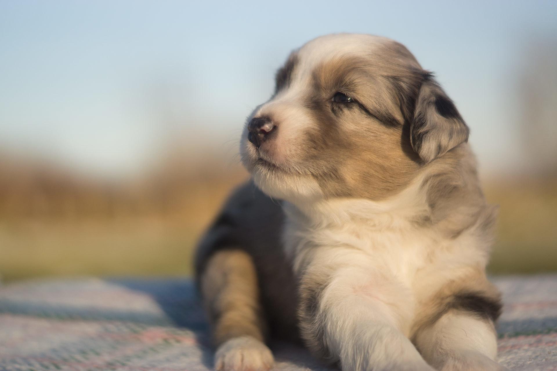 Miniature Australian Shepherd Puppy Male Blue Merle