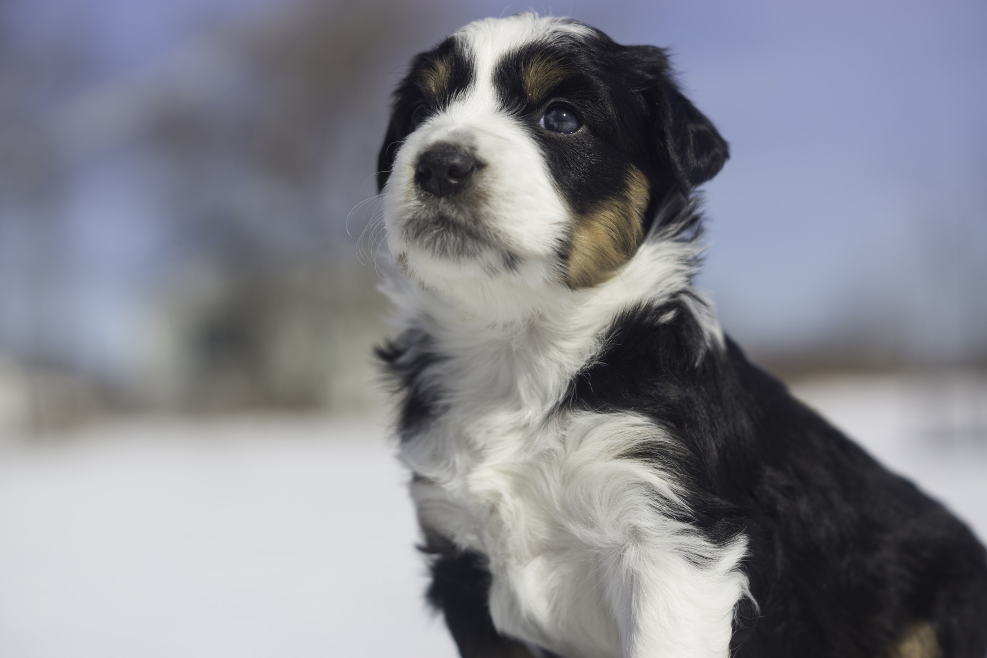 February 2014 Mini Aussie Puppies Breezemore