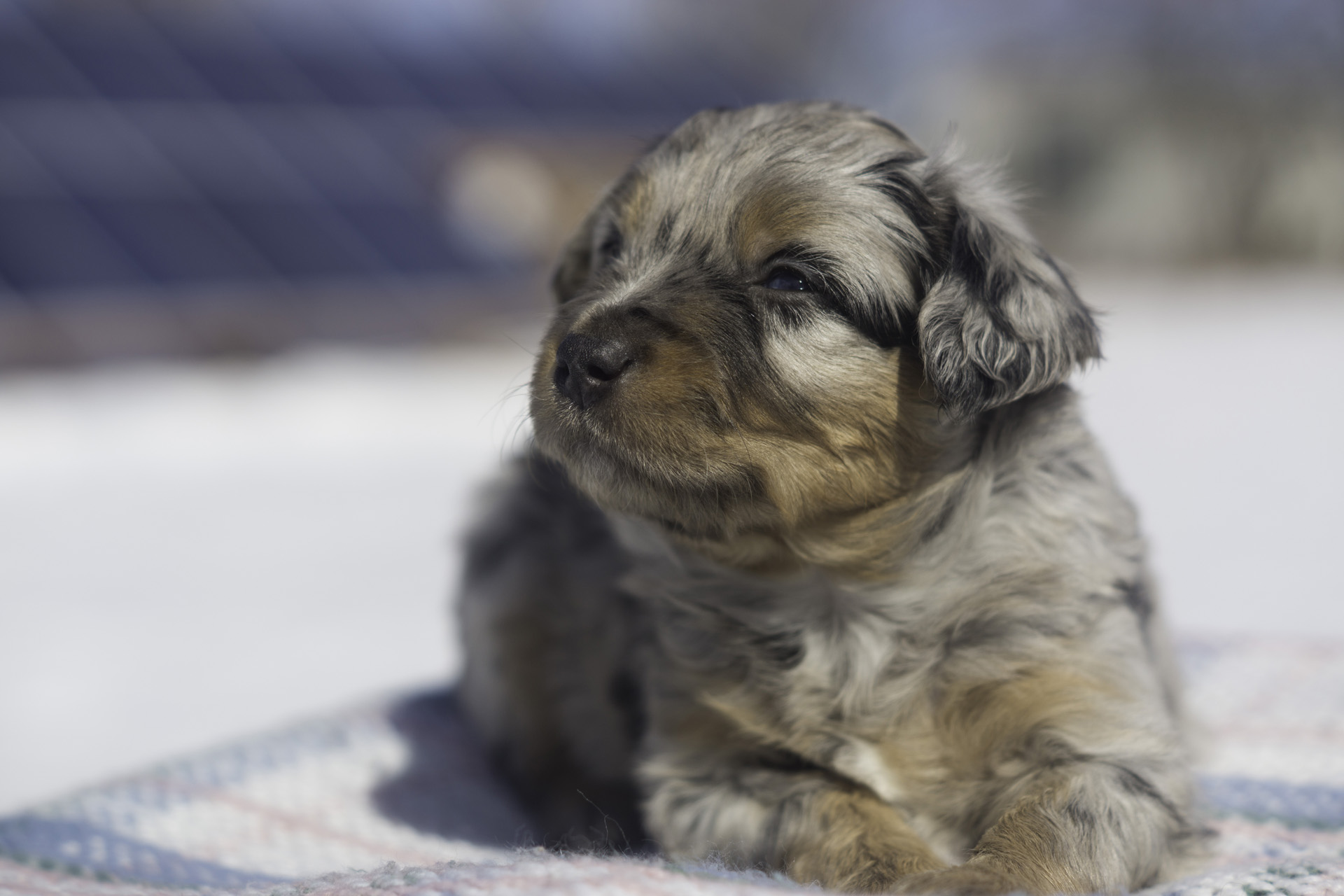 Miniature Australian Shepherd Puppy Male Blue Merle