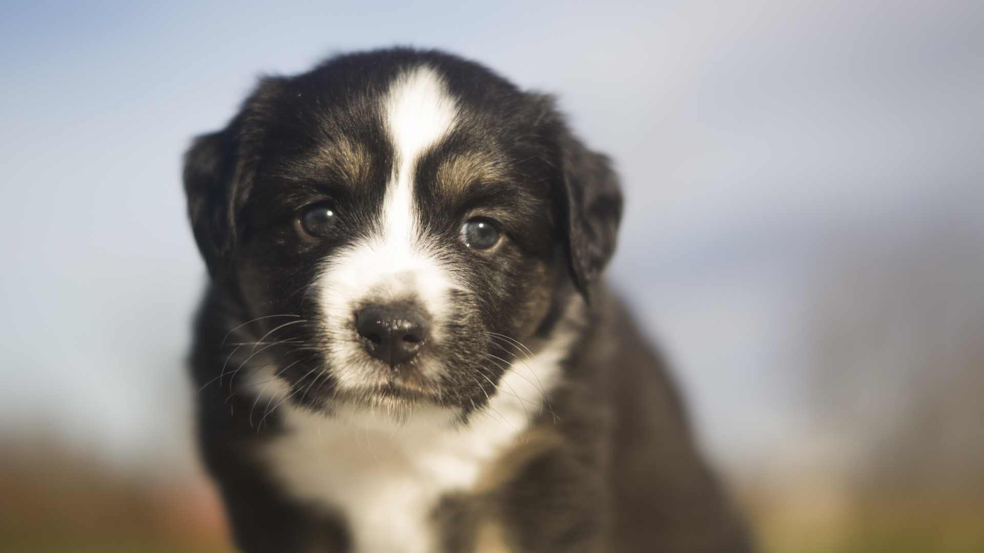 Miniature Australian Shepherd Puppy from Breezemore's Maine Mini Aussies!