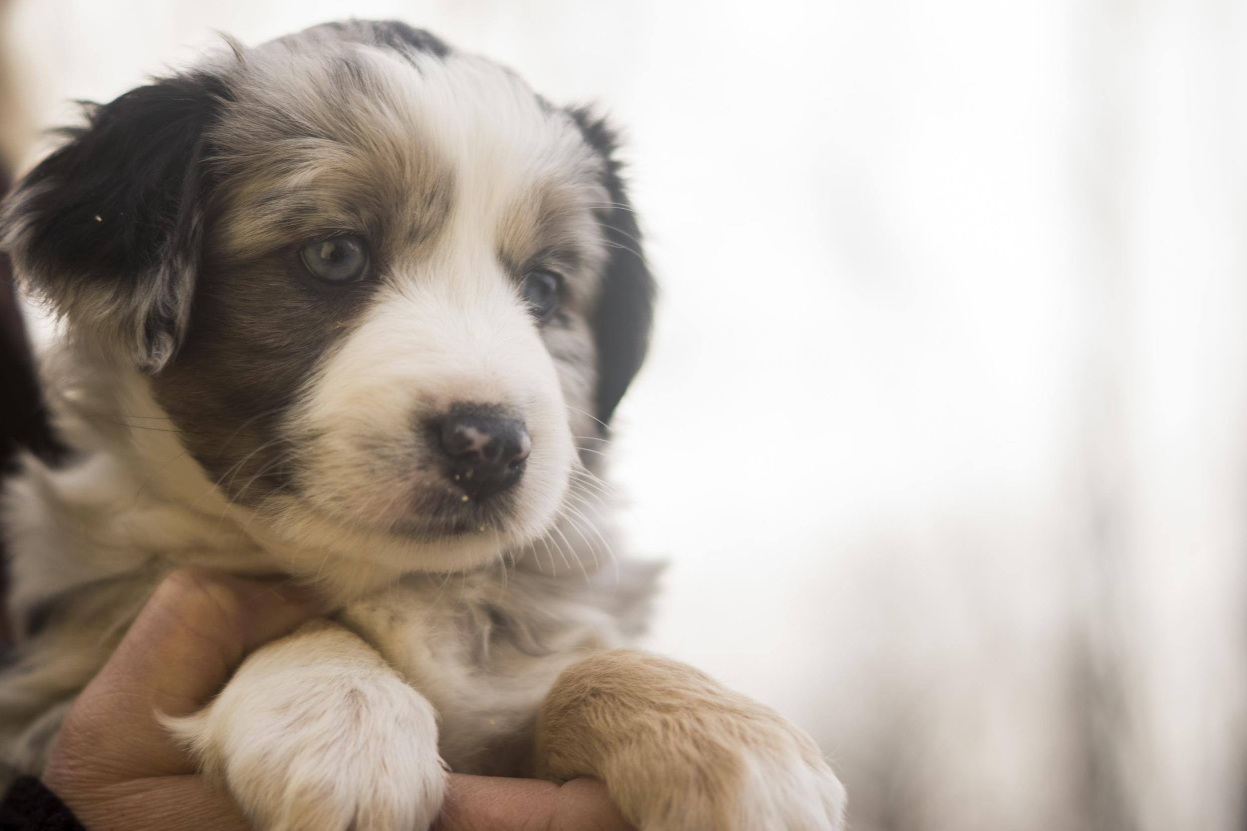 Miniature Australian Shepherd Puppy Female