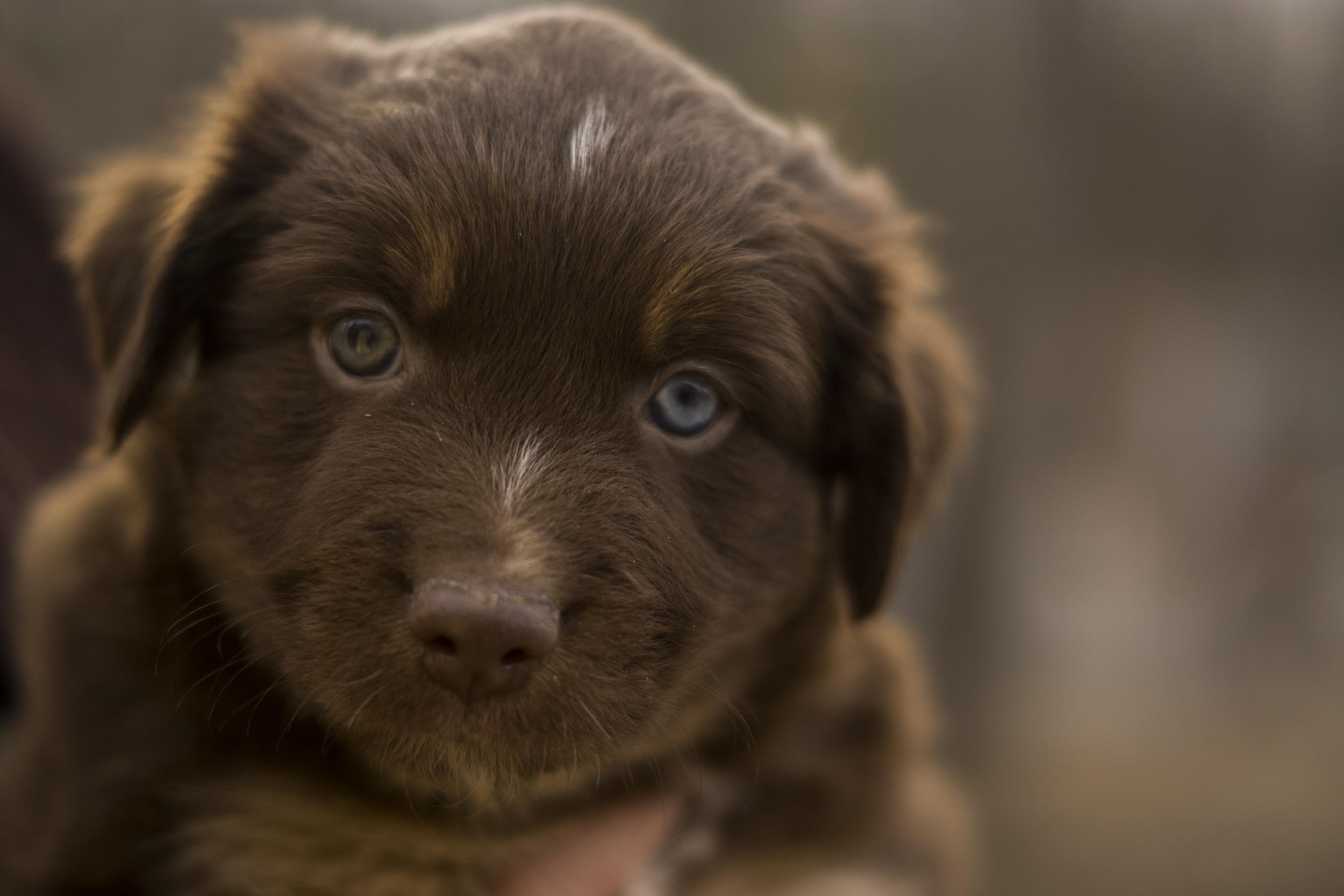 Mini-Aussie-Shepherd-Puppy-9.jpg
