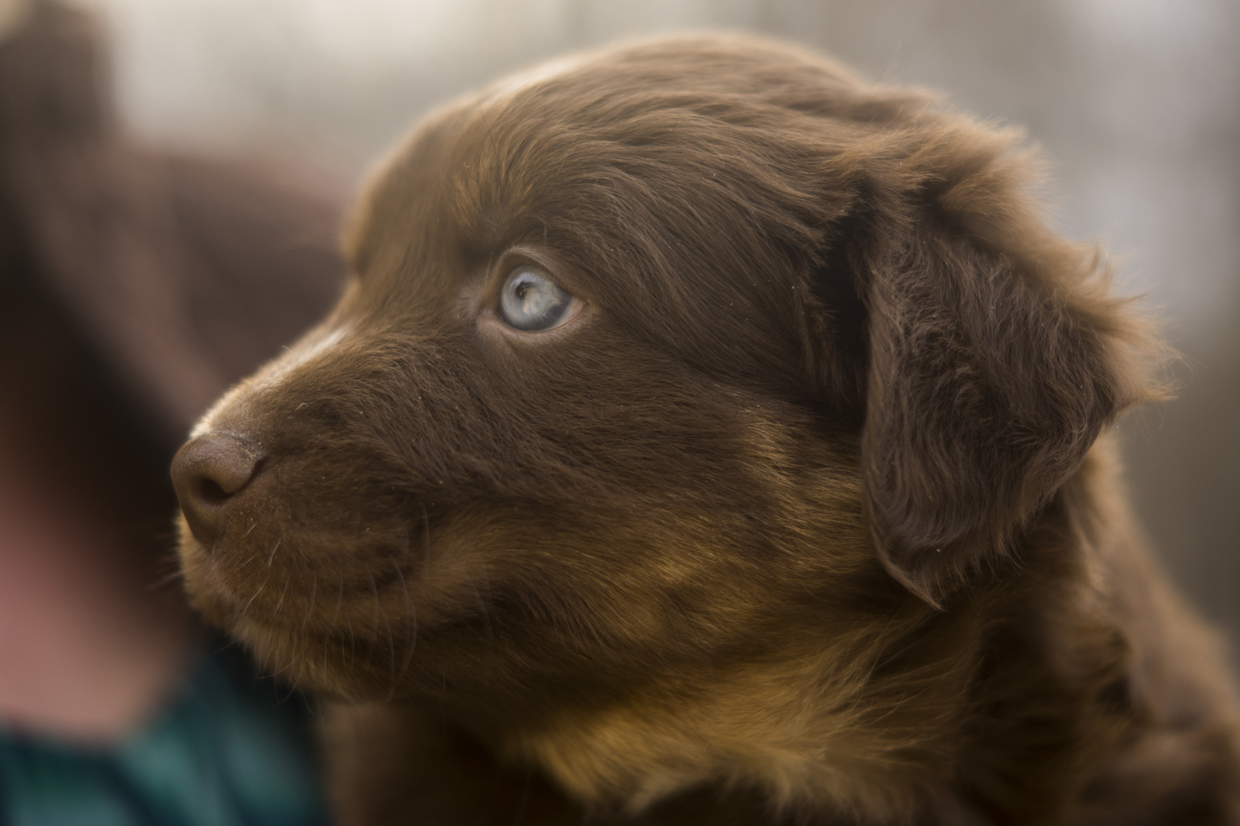 Mini-Aussie-Shepherd-Puppy-10.jpg