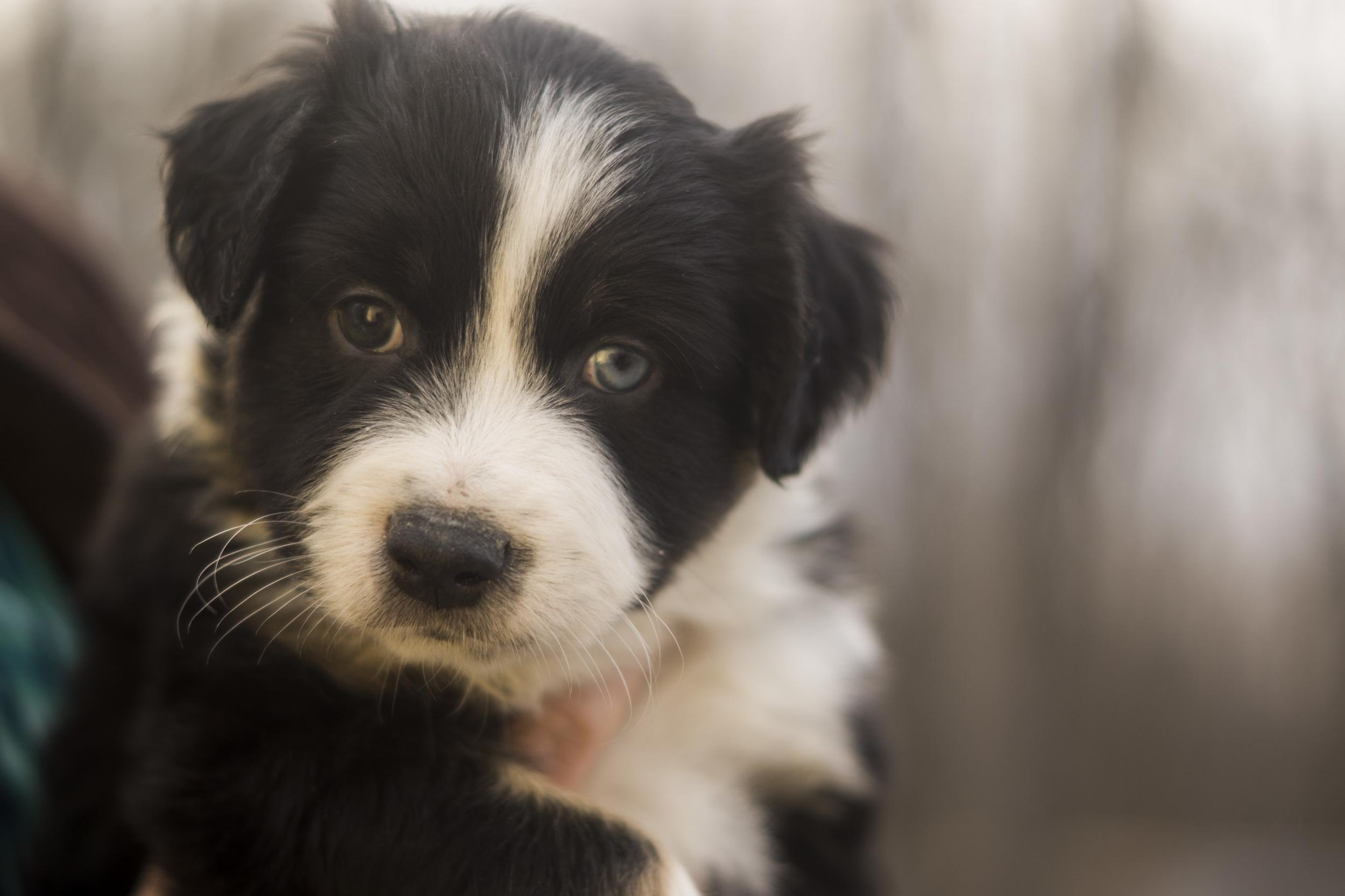 Mini-Aussie-Shepherd-Puppy-11.jpg