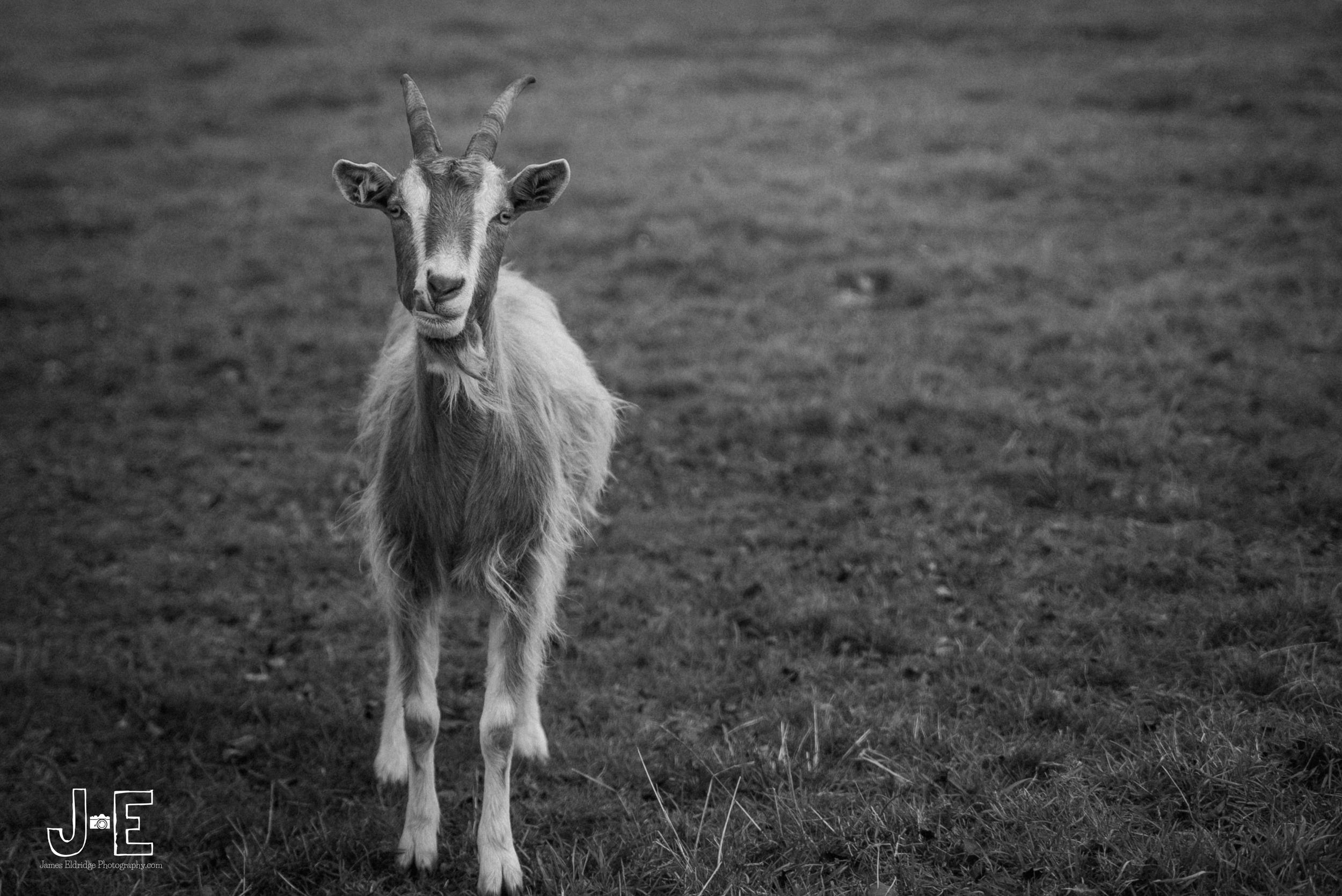 Goat street photography
